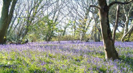Page 2 Scenic / pretty : bluebells at Fermain.  Supplied from Digs